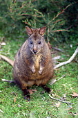 Tasmanian Pademelon in the wild