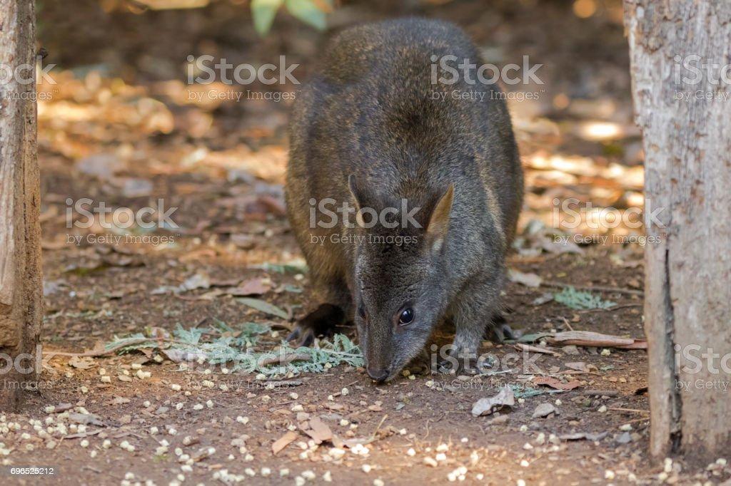 Tasmanian Pademelon nibbling its lunch on the ground in Tasmania, Australia stock photo