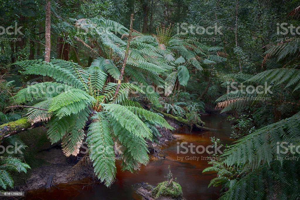 Tasmanian Rain Forest. stock photo