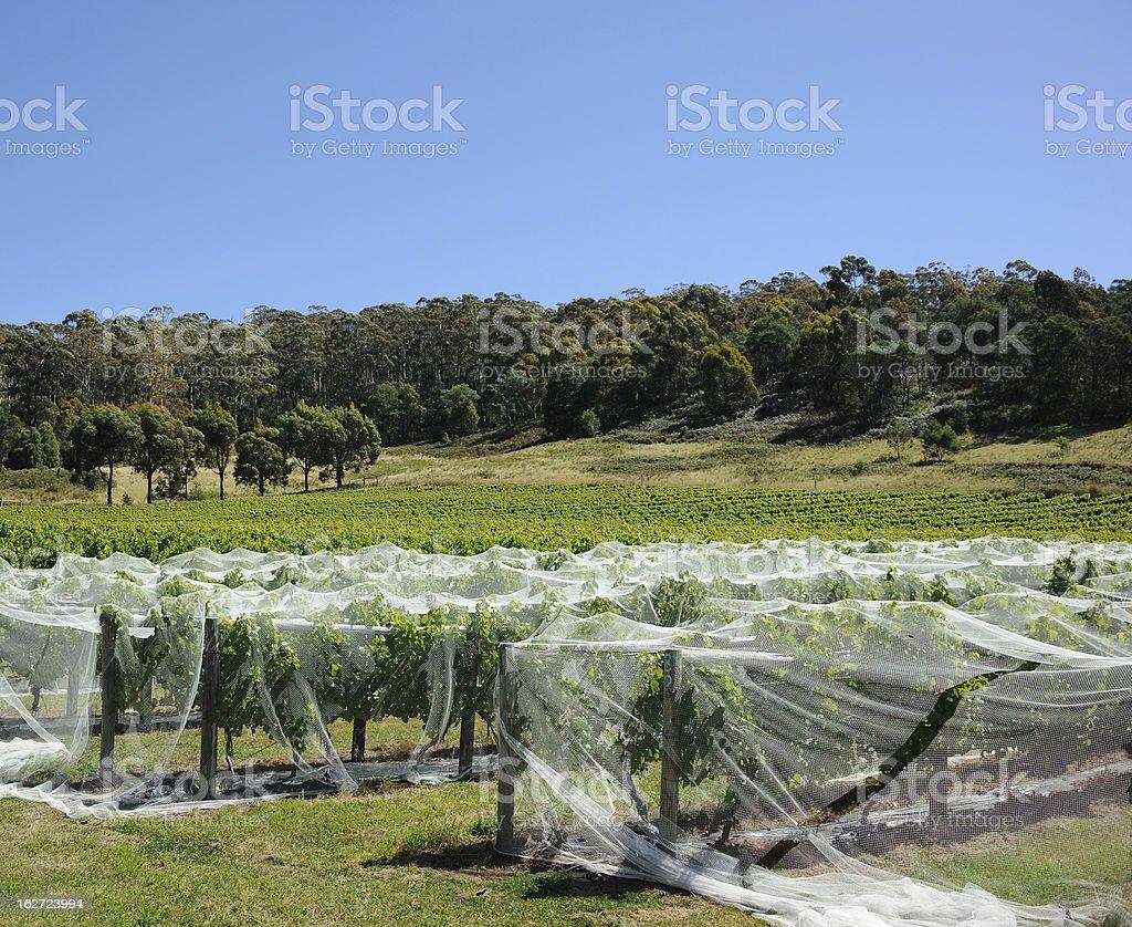 Tasmanian Vineyard stock photo