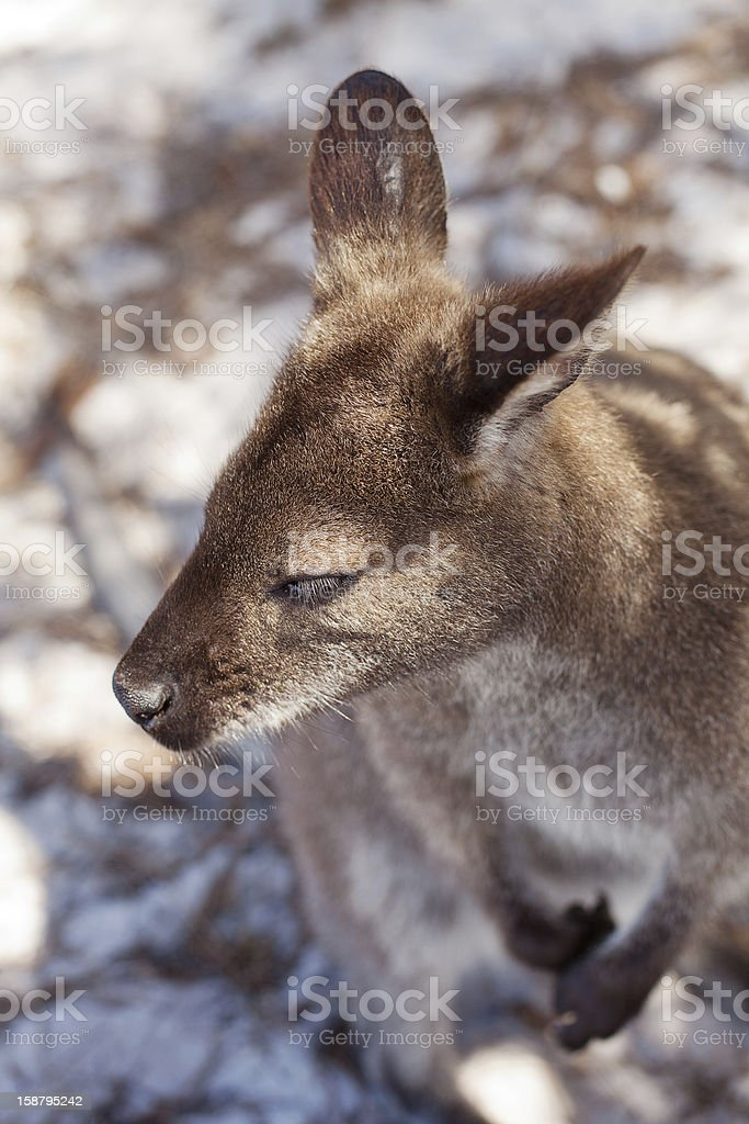 Tasmanian Wildlife stock photo