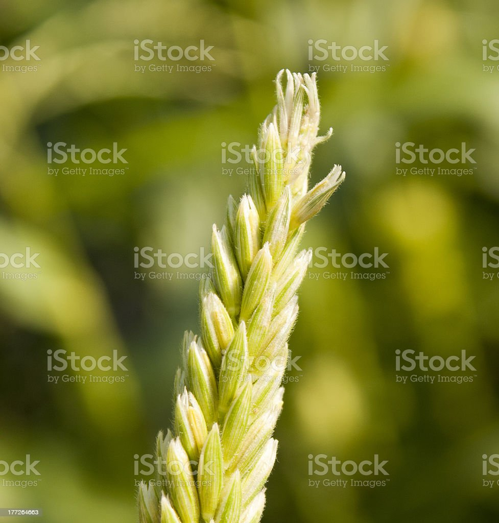 Tassel from the top of a corn stalk stock photo
