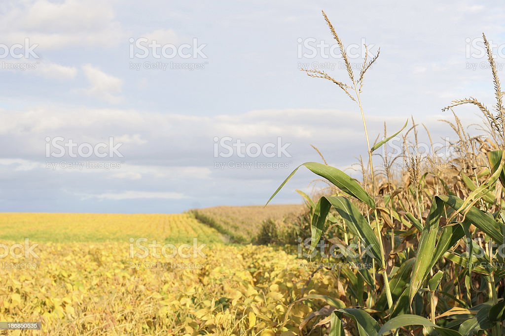 Tasseled Corn and Soybeans Nearing Harvest royalty-free stock photo