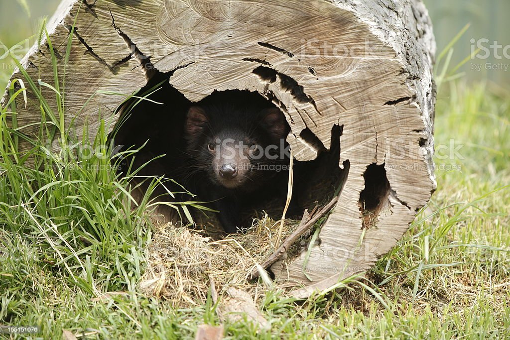 Tassie Devil stock photo