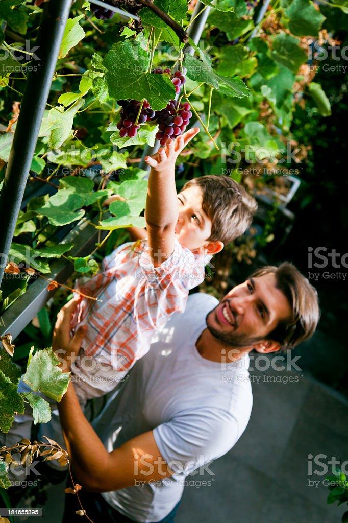 tasty grapes stock photo