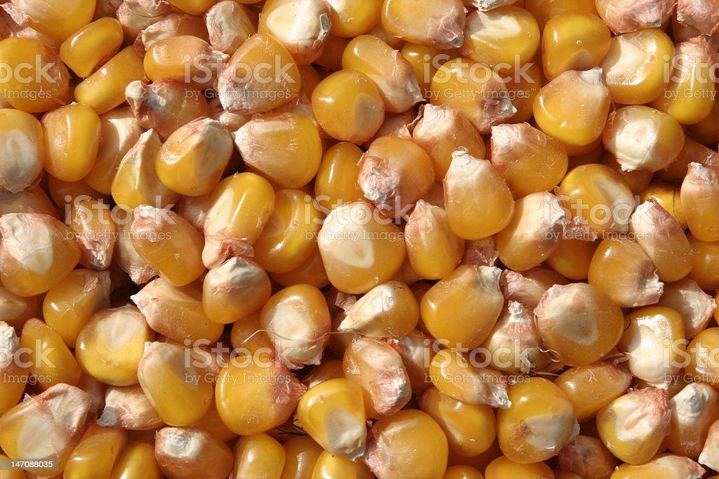 Sabrosos mirando maíz foto de stock libre de derechos