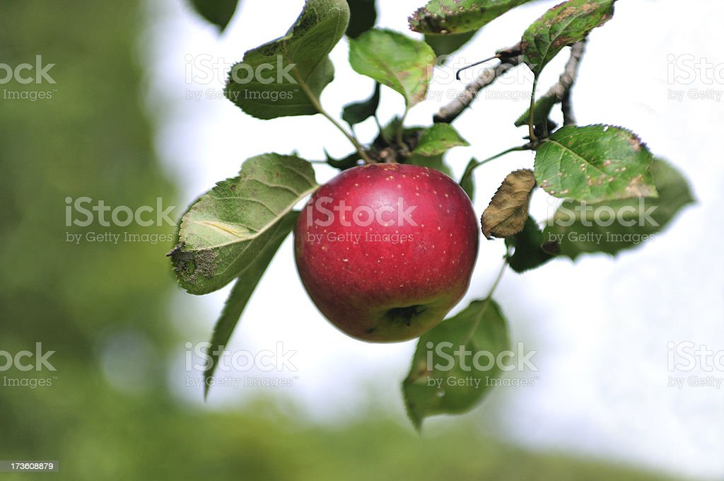 Tasty red Apple royalty-free stock photo