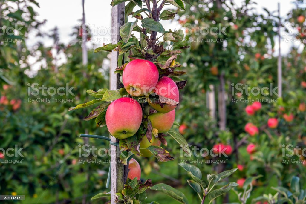 Tasty red apples ready for harvesting stock photo