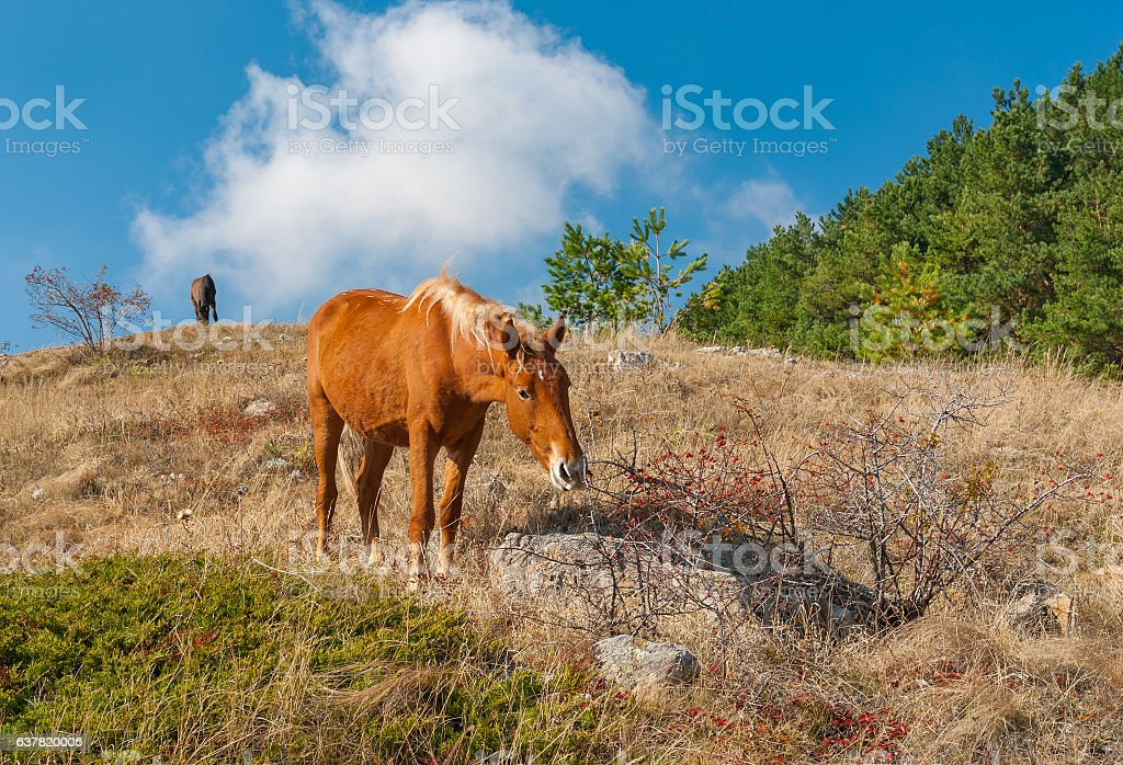 Tatar horse eating favorite dainty hips berries in Crimean mountains stock photo