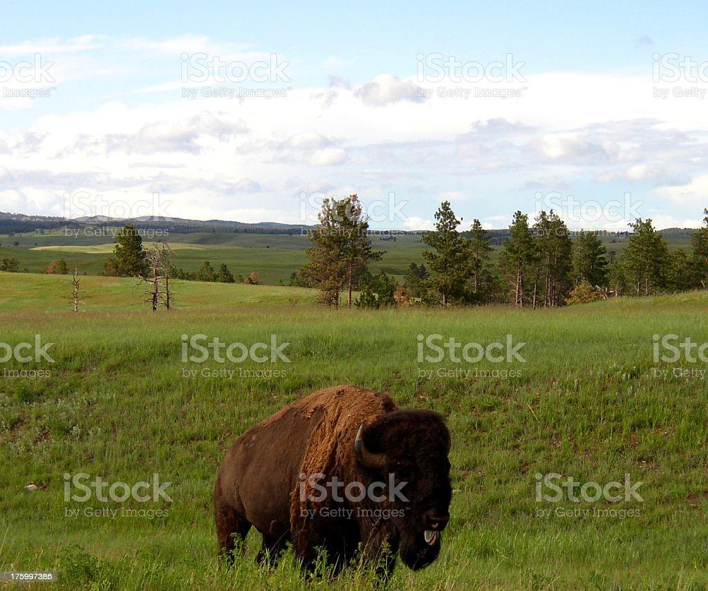 Tatonka on the Range royalty-free stock photo