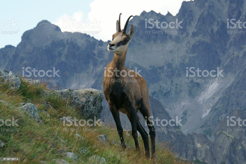Tatra Chamois stock photo