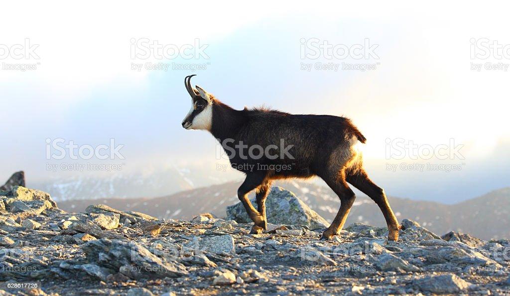 Tatra chamois stock photo