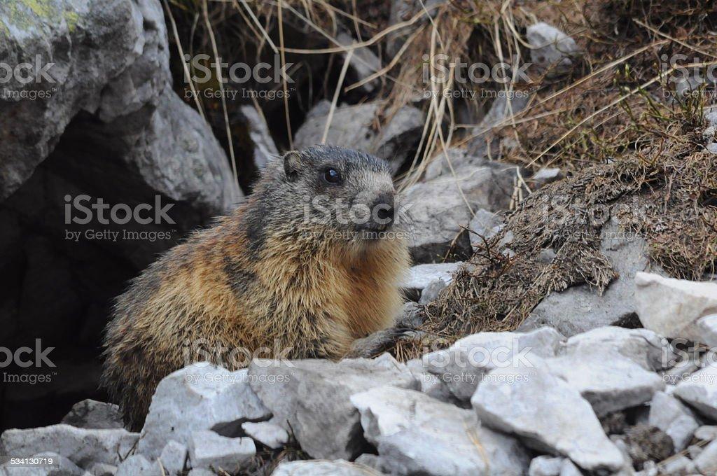 tatras marmot stock photo