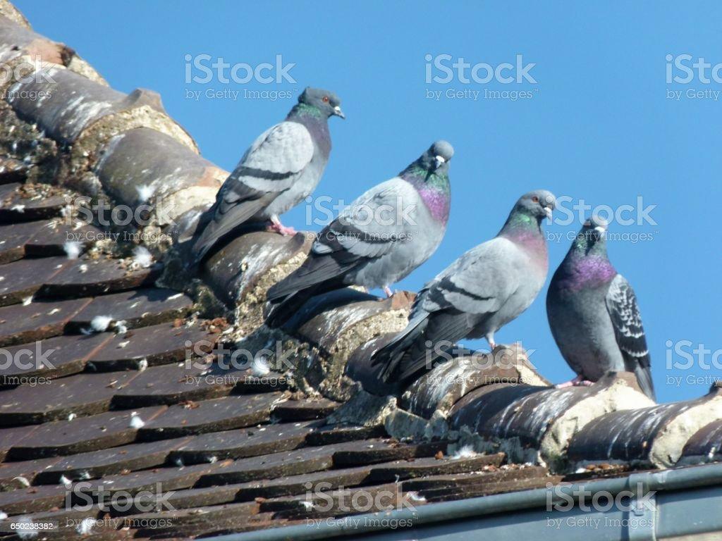 Tauben auf dem Dach stock photo
