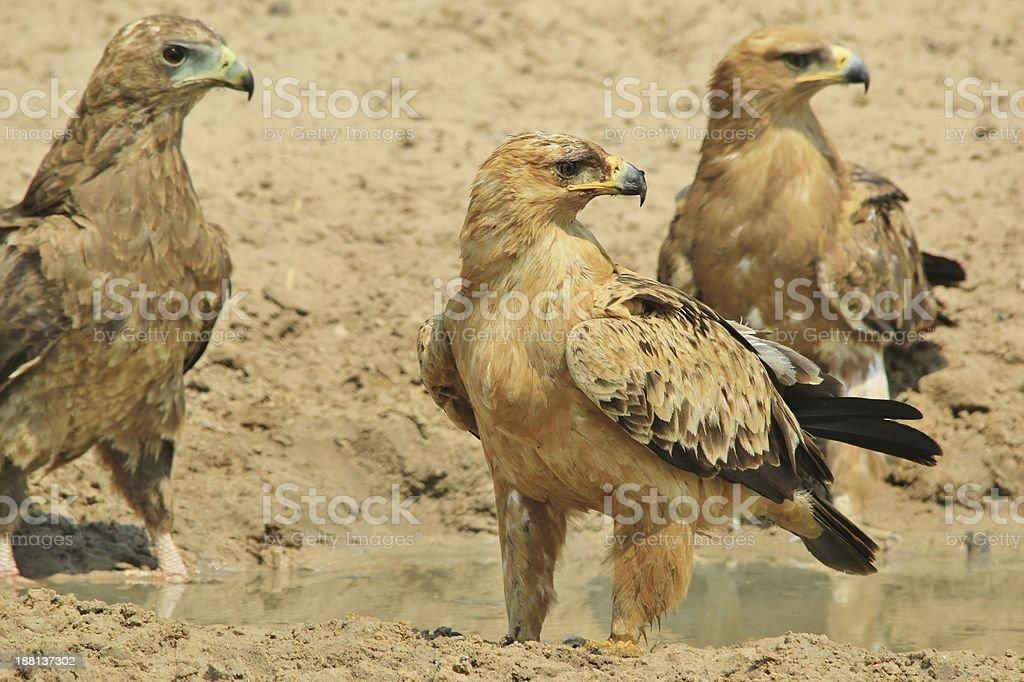 Tawny and Bateleur Eagles - Gathering in Africa stock photo