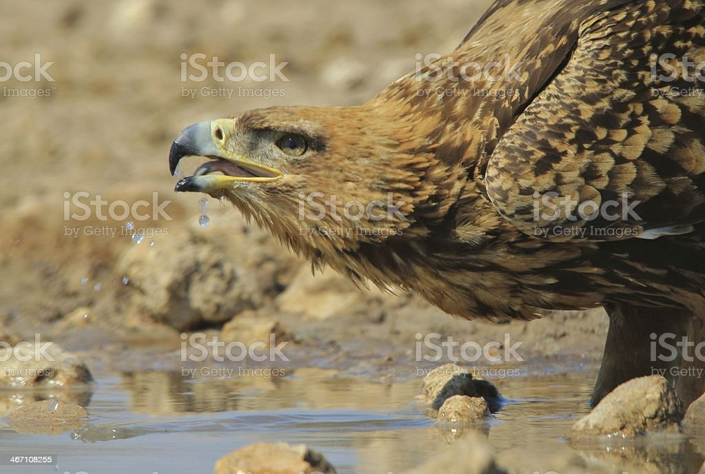Tawny Eagle, Africa - Droplets of Precious Water stock photo