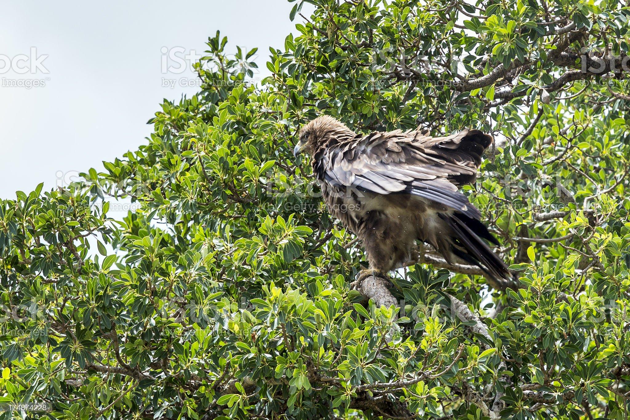 Tawny Eagle at masai mara royalty-free stock photo