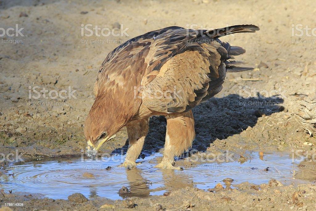 Tawny Eagle - Background of Wonder in Africa stock photo