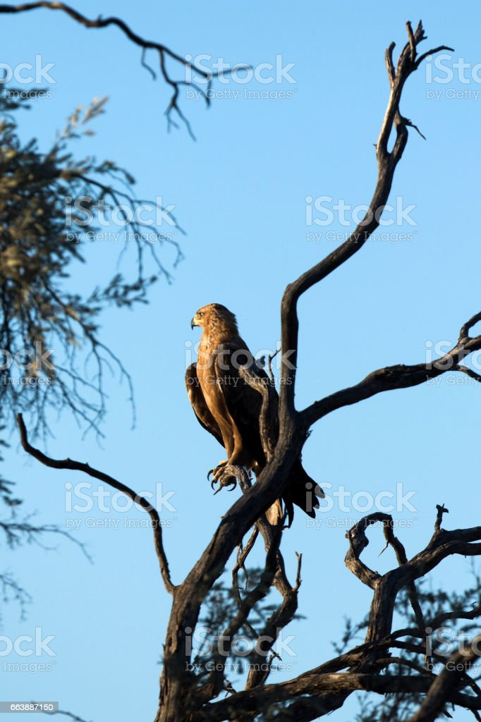 Tawny Eagle in a tree top stock photo
