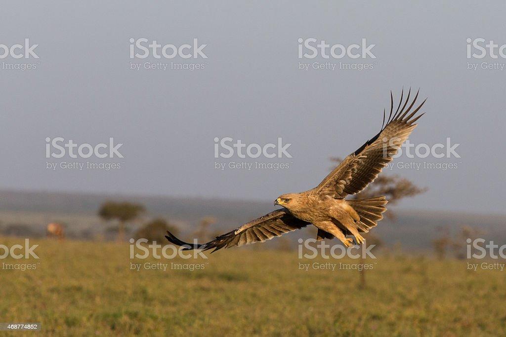 Tawny Eagle in flight stock photo