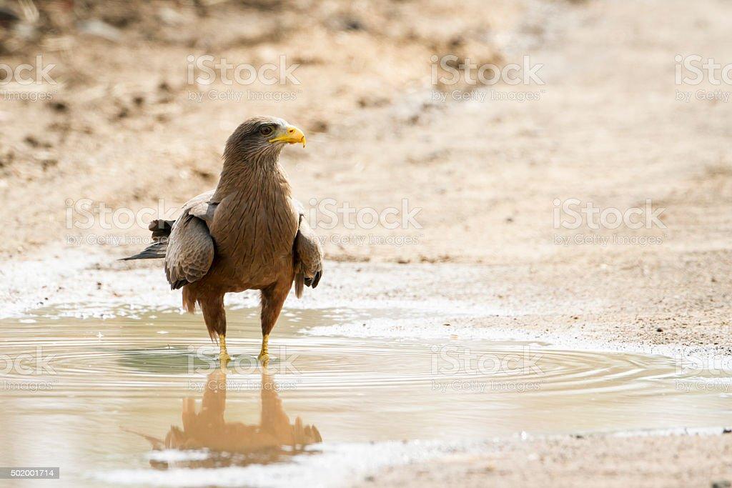 Tawny Eagle in Kruger National park stock photo