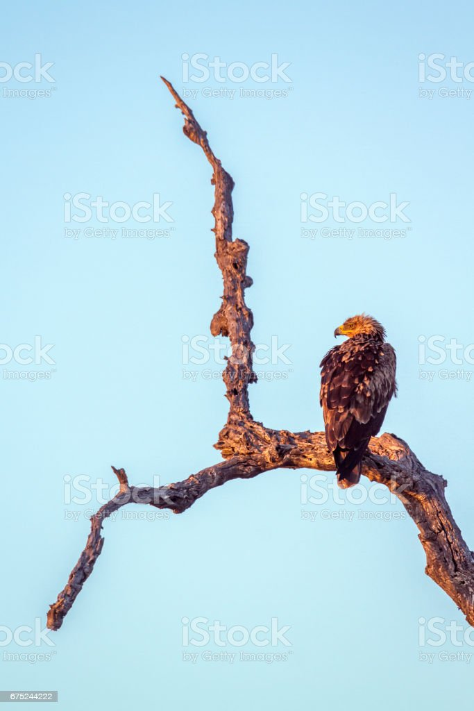 Tawny Eagle in Kruger National park, South Africa stock photo