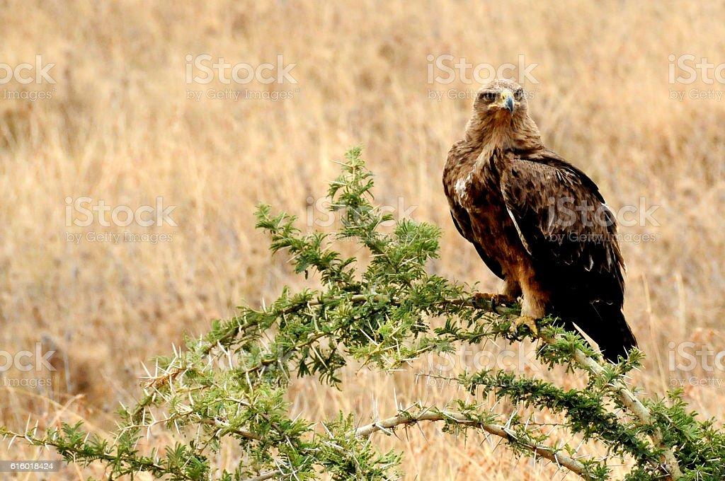 Tawny eagle in  Serengeti. stock photo