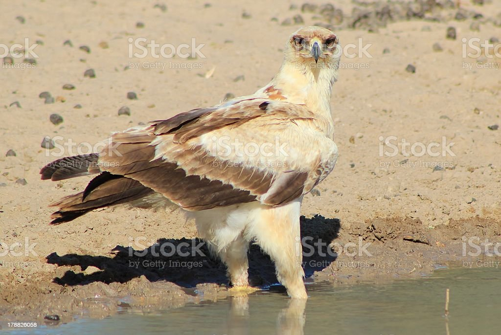 Tawny Eagle - Intimidating Stare from the Proud stock photo