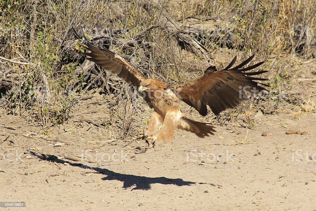 Tawny Eagle Landing - Raptors from Africa stock photo
