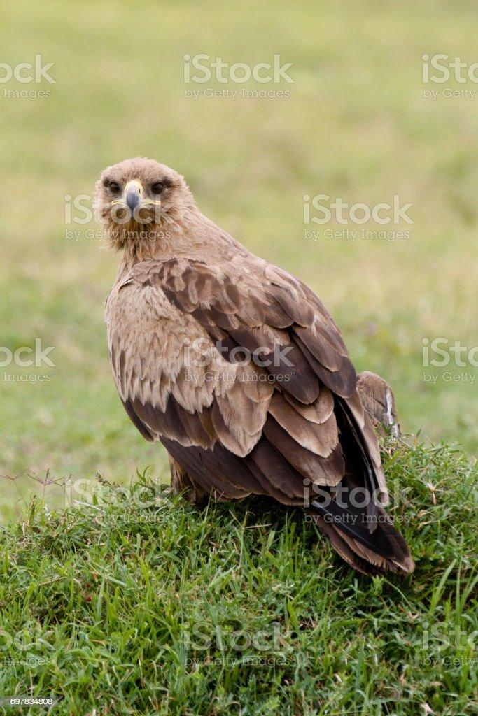Tawny eagle looking at camera stock photo