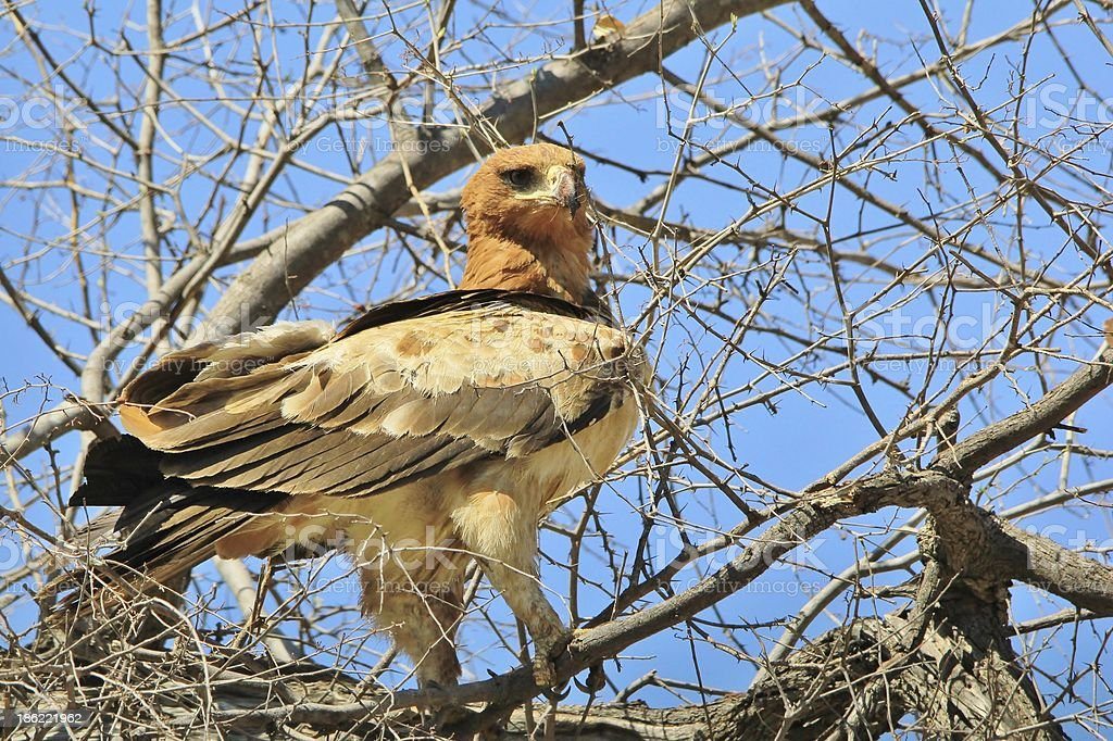 Tawny Eagle - Looking at the world from Atop Africa stock photo