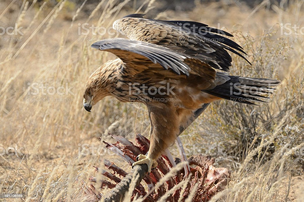 Tawny eagle on an Oryx carcass stock photo