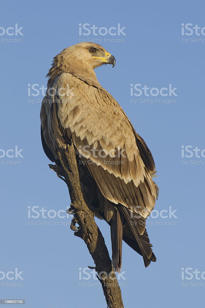 Tawny Eagle ( Aquila rapax) pale morph stock photo
