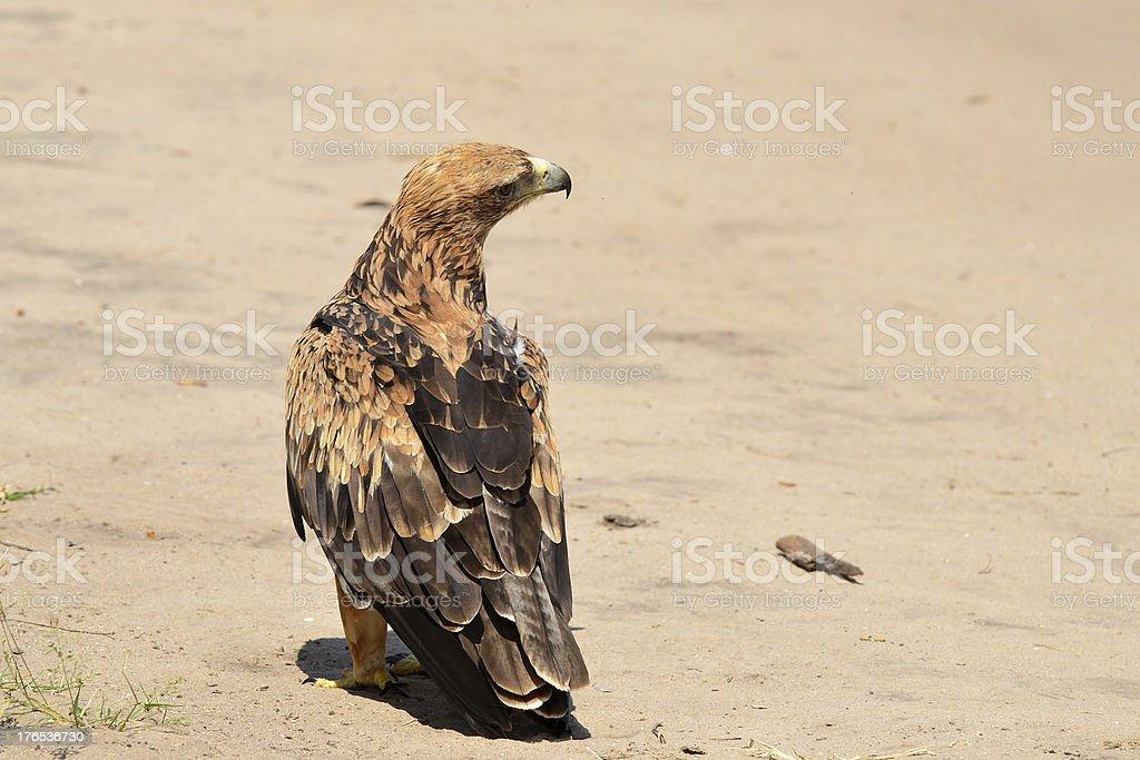tawny eagle royalty-free stock photo
