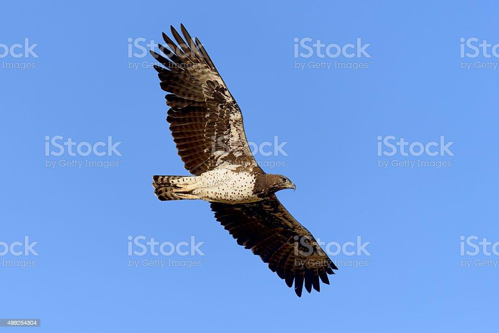 Tawny eagle stock photo