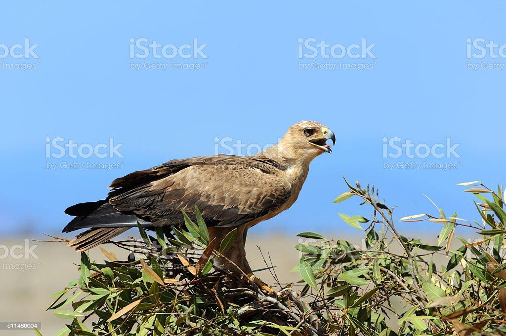 Tawny eagle (Aquila rapax) stock photo
