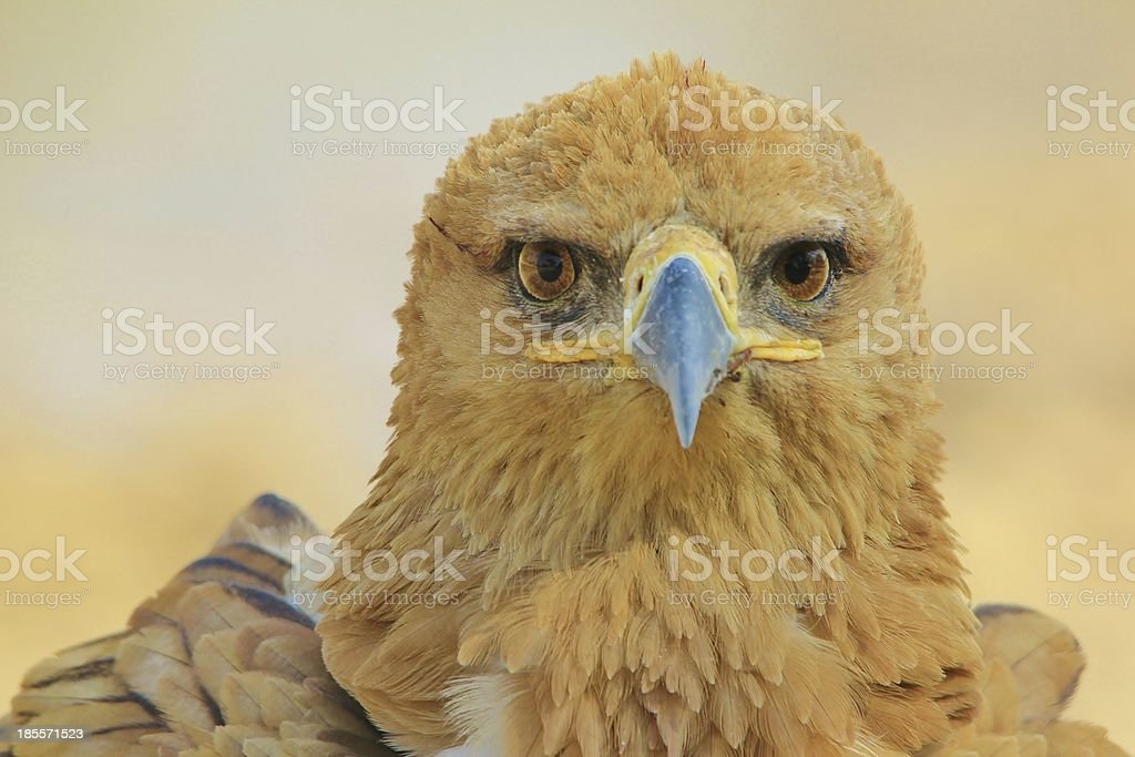 Tawny Eagle - Piercing Bird Background Beauty from Africa stock photo
