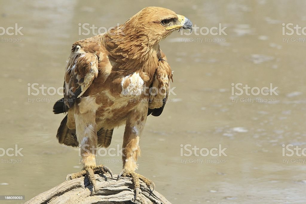 Tawny Eagle Pride - Wild Bird Background from Africa stock photo