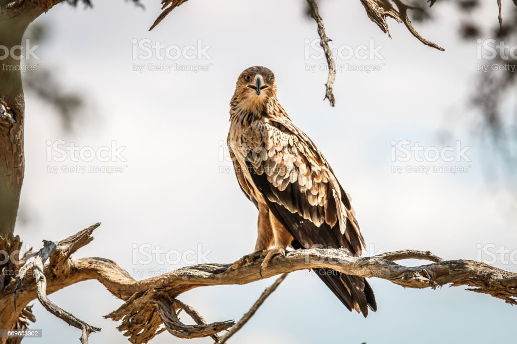 Tawny eagle sitting on a branch. stock photo
