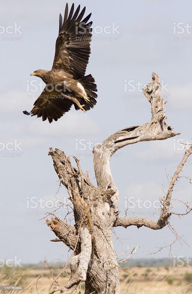Tawny Eagle, South Africa stock photo