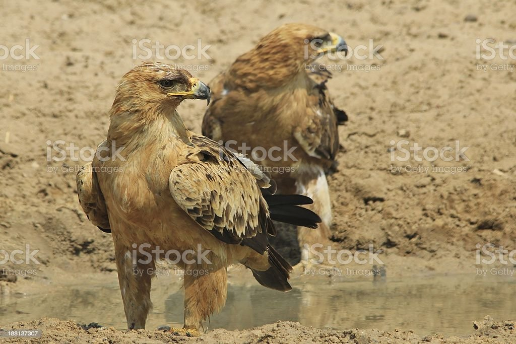 Tawny Eagle Twins - Wildlife Background from Africa stock photo