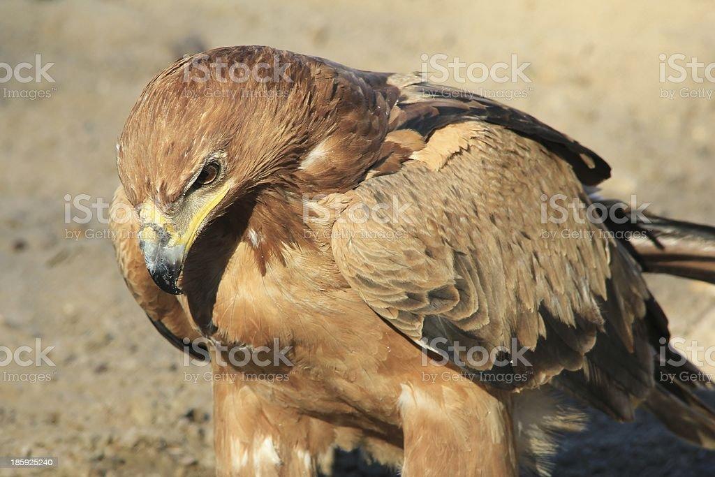 Tawny Eagle - Wild Bird Background from Africa stock photo
