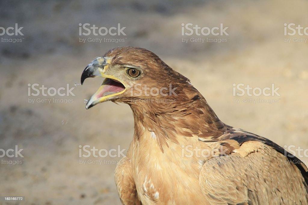 Tawny Eagle - Wild Bird Background of a Super Raptor stock photo