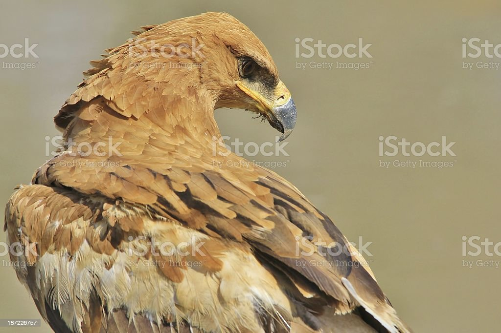 Tawny Eagle - Wild Bird Backgrounds of Power from Africa stock photo