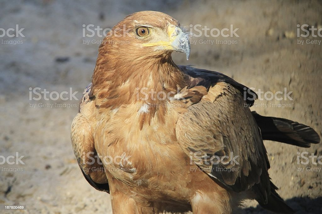 Tawny Eagle, Wildlife Background from Africa - Giving the Eye stock photo