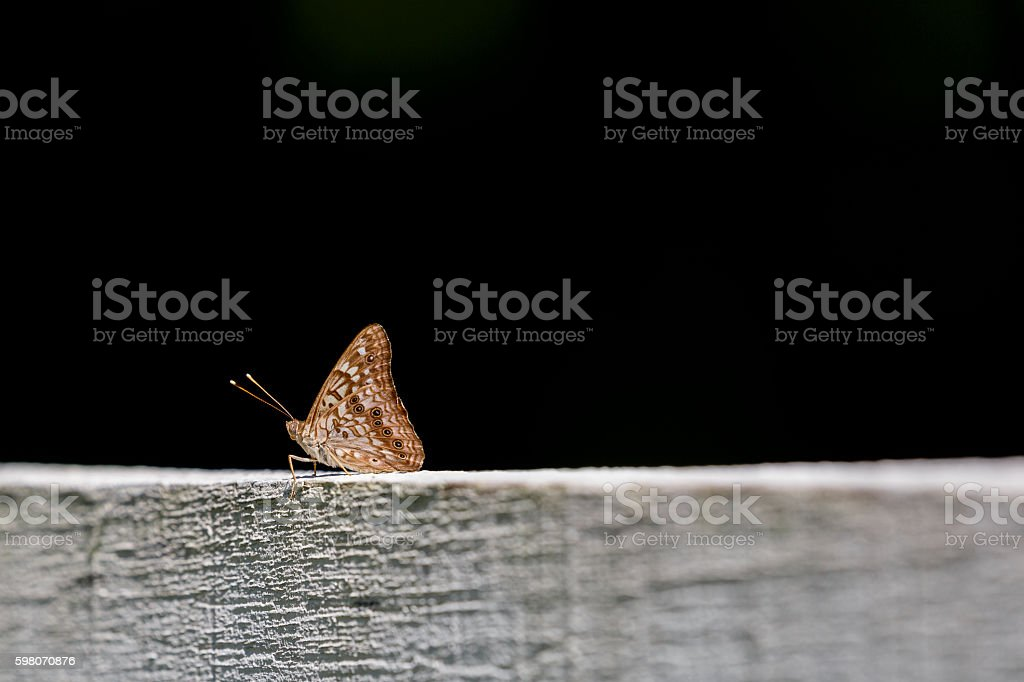 Tawny Emperor Butterfly (Wings Closed) Against Black Background stock photo
