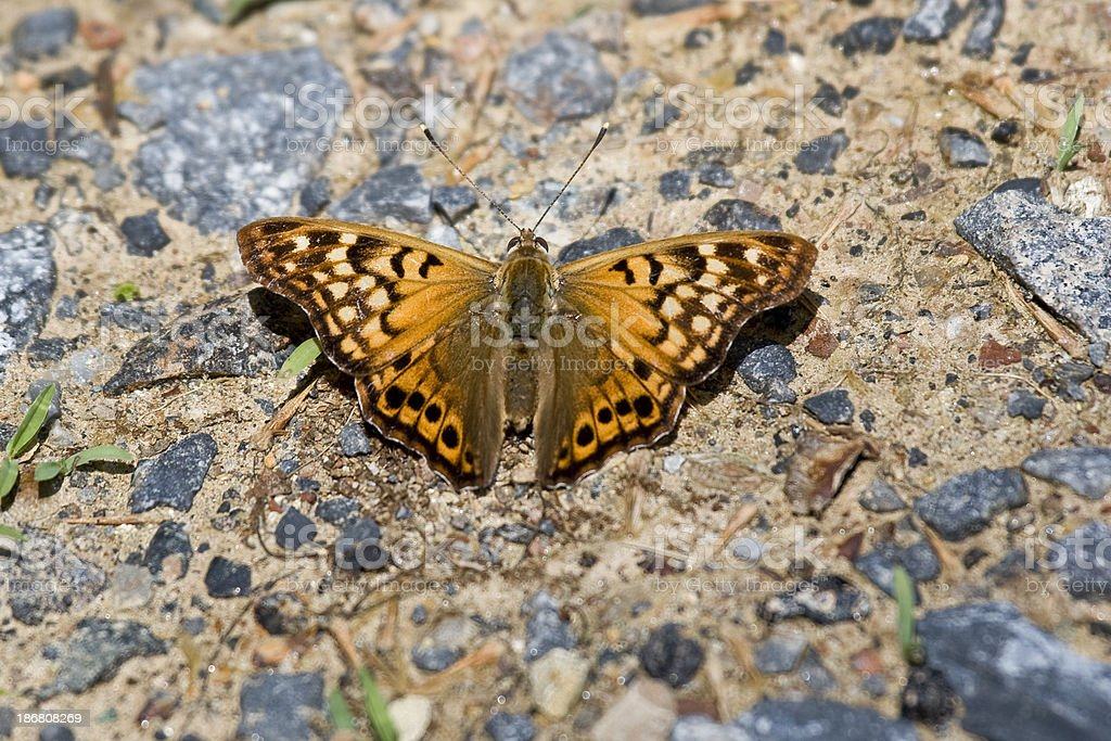 Tawny Emperor Butterfly (Wings Open) royalty-free stock photo