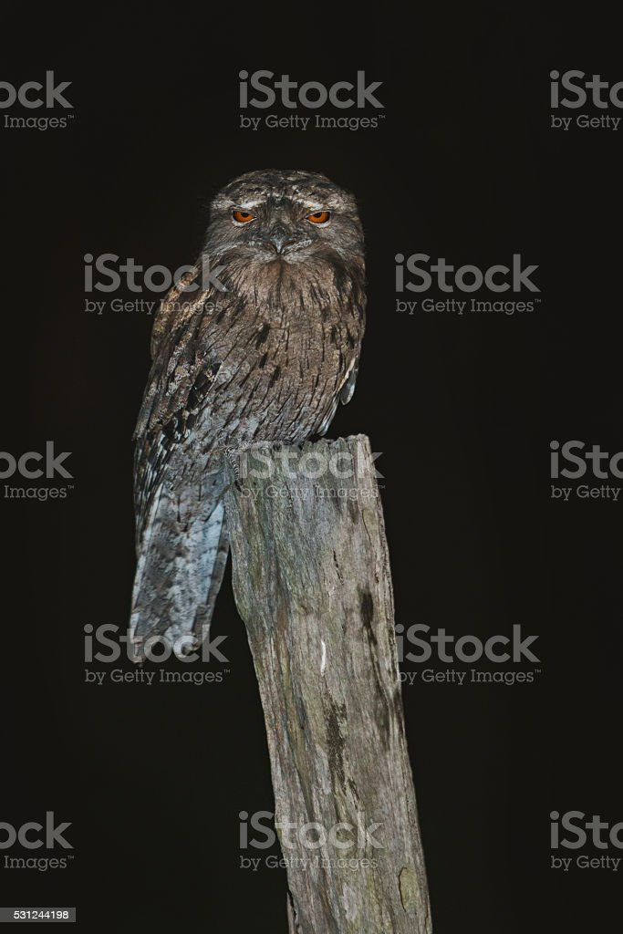 Tawny Frog Mouth sitting on a fence post at night stock photo