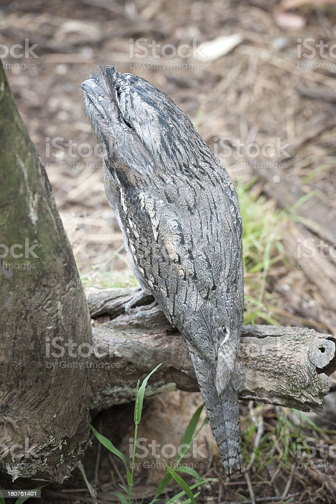 Tawny Frogmouth (Podargus Strigoides), Australia stock photo