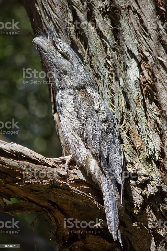 Tawny Frogmouth camouflaged in a tree stock photo